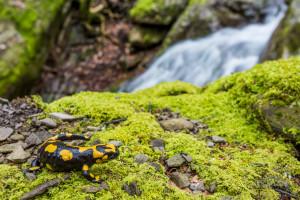 Salamandra pezzata nel suo habitat - ottica kit